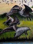 descending brown pelicans