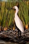 final egret
