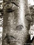 aspen eyes (Remillard State Park,CA)
