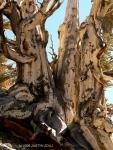bristlecone (Ancient Bristlecone Pine Forest, White MountainsNevada)