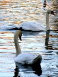 pair of swans