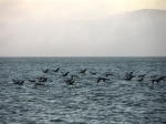 flock of BrownPelicans