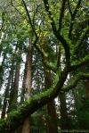 fern tree (Muir Woods Nat'lMonument)