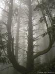 foggy tree (Matt Davis Trail, MountTam)