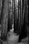 forest path (Dawn Falls Trail, MarinCA)