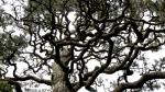 Japanese tree (Hagiwara Tea Garden, SanFrancisco)