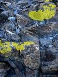 alpine lichens (Tioga Pass, SierraMountains)