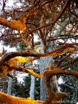 lichen encrusted old-growth coast cypress (Point LobosReserve)
