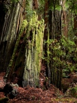 mossy stumps (Muir Woods Nat'lMonument)