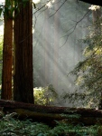 Muir light (Muir Woods Nat'l Monument)