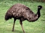 Emu (SF Zoo)