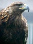Golden Eagle (SFZoo)