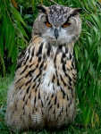 Great horned Owl (SFZoo)