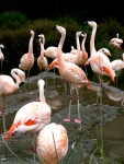Flamingos (SF Zoo)