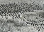 Cormorant colony, Bird Island, PointLobos