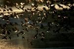 redwinged Blackbirds in aflock