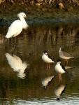 Snowy Egret, Black Necked Stilts,Dunlin