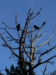 crows in atree