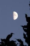 half moon and heron intree