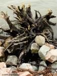 root structure (Remillard StatePark)