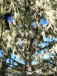 Spanish moss (Point Reyes NationalSeashore)