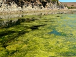 Tomales kelpbed (Tomales BaySP)