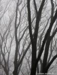 trees in fog (NewYork)