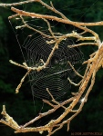 web in branch (Pheonix Lake, MarinCA)