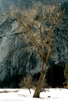 Yosemite tree(big)